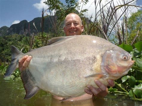 black pacu gillhams fishing resorts