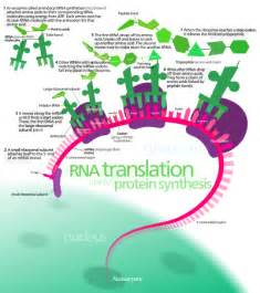 where in a eukaryotic cell does translation occur overview of the translation of eukaryotic messenger rna