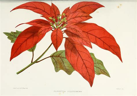 file flower poinsettia pulcherrima png