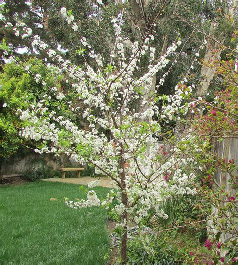 Plumb Tree by Update Plum Tree Flowering With Fishwater