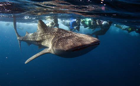 Shark In The stop whale sharks floridians