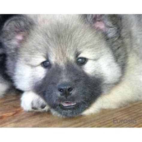 free puppy listings eurasier breeders in the usa and canada freedoglistings