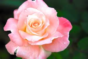 princess diana rose roses are red no thank you garden reverie