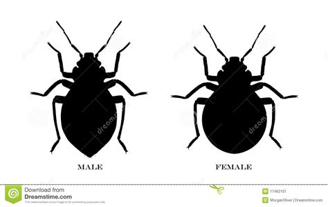 can bed bugs be black male and female black illustrated bedbugs stock image