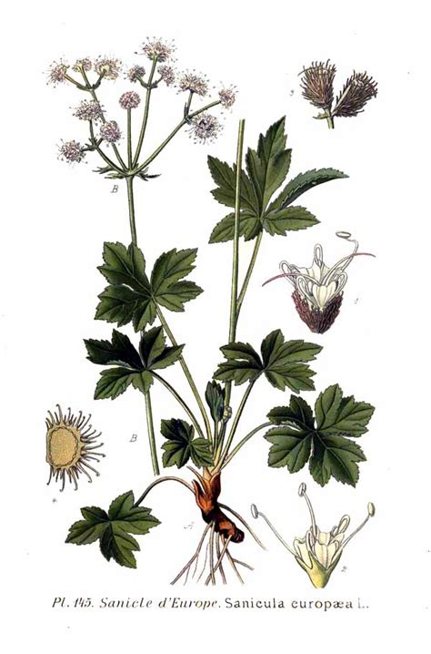 l jpg file 145 sanicula europaea l jpg wikimedia commons