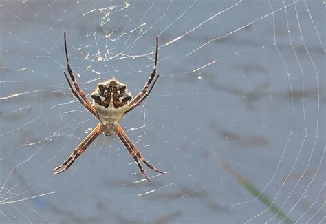 Garden Spider Poisonous by Spiders Archives Page 3 Of 300 What S That Bug