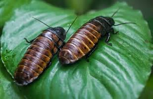 The biggest animals kingdom and in the world madagascar cockroach as