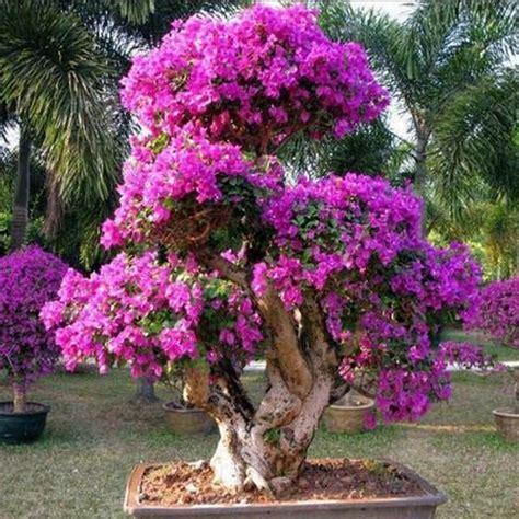 Pupuk Untuk Bunga Tapak Dara jenis bunga hias yang mudah dalam perawatannya daunbuah