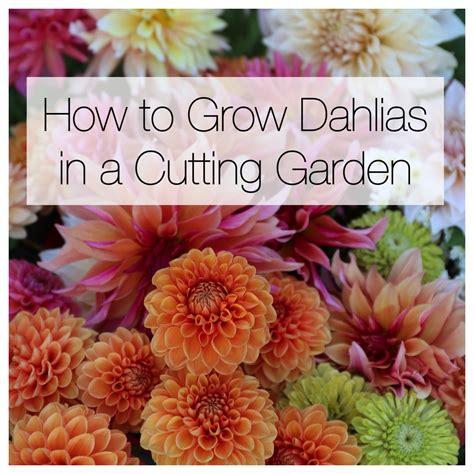 how to grow dahlias in a cutting garden longfield gardens