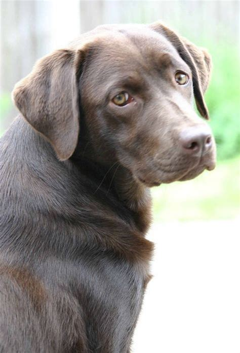 labrador therapy 32 best images about chocolate labrador retrievers canine therapy on