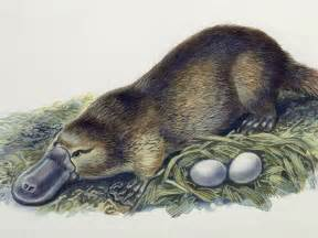 Image result for platypus reproduction
