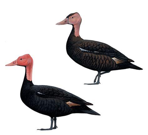 Bantal Menyusui Duck Biru Duck Pink pink headed duck rhodonessa caryophyllacea extinct bird species
