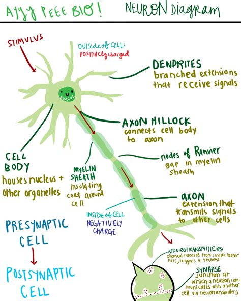 Neuron Diagram And Functions a diagram of a neuron and its functions a study in