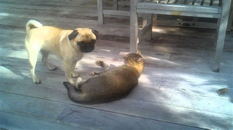 pugs and lions princess pug vs a mountian
