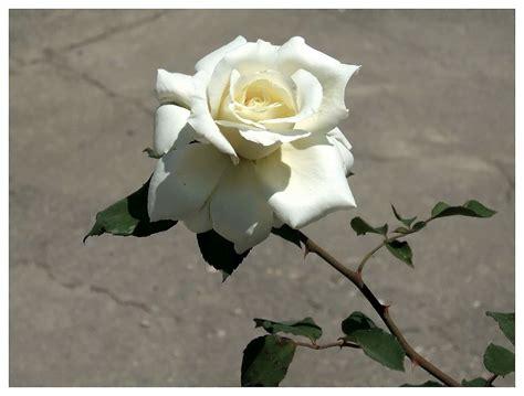 Imagenes De Rosas Blancas Naturales | un paseo por mi vida rosas blancas frescas y bellas