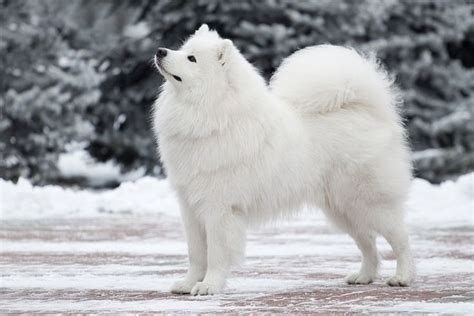 snow breeds 102 best images about on bull terriers great pyrenees and