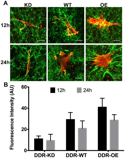 Collagen Biolo interactions between the discoidin domain receptor 1 and 邁1 integrin regulate attachment to