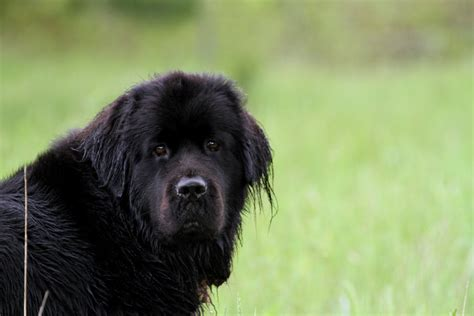 Newfoundland Search Pin White Newfoundland Image Search Results On