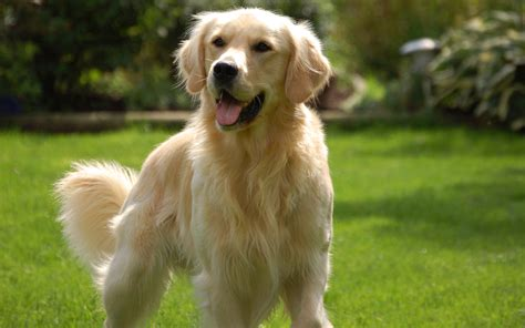 golden retrievers iowa golden retriever breed information pictures history