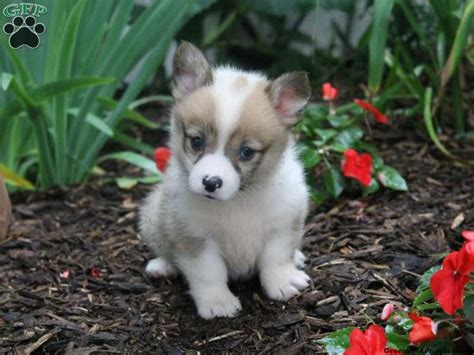 corgi puppies for sale in ohio 36 best corgi pembroke images on pembroke corgi puppies