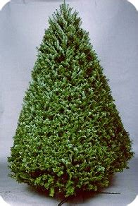 douglas fir christmas tree care national tree association gt all about trees gt tree characteristics