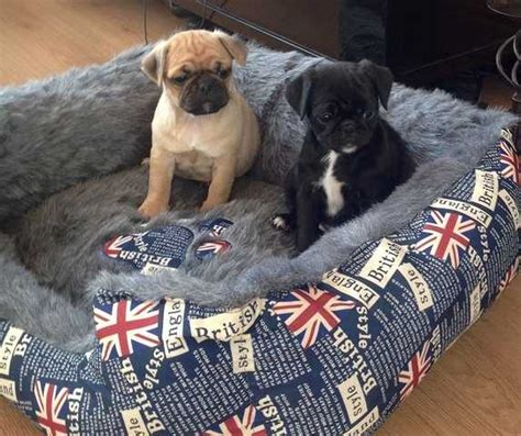pug puppies for sale calgary adorable pug puppies ready 850 888 2596 for sale adoption from calgary alberta