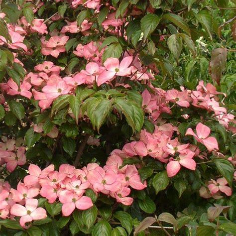 Cornus Kousa Satomi by Cornus Kousa Satomi Vente Cornouiller 224 Grandes Fleurs