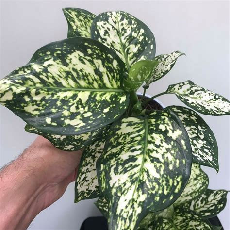 aglaonema snow white  chinese evergreen plantbest air