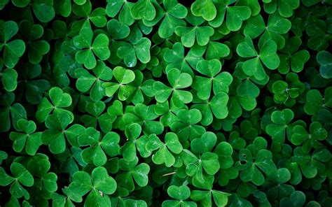 shamrock green green leaves shamrock wallpaper 2560x1600 260170