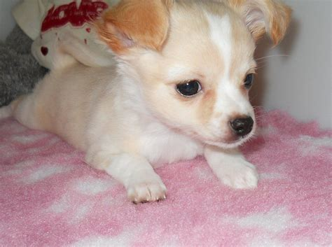 white chihuahua puppies white coat chihuahua puppy hawick roxburghshire pets4homes