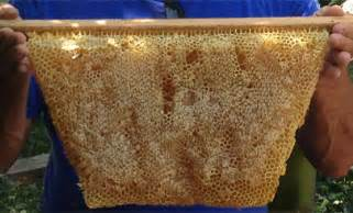 How To Extract Honey From A Top Bar Hive by Backyardhive Faqs Capped Honey Comb