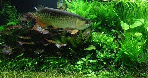 aquarium design for arowana red tail gold asian arowana in a planted aquarium fish