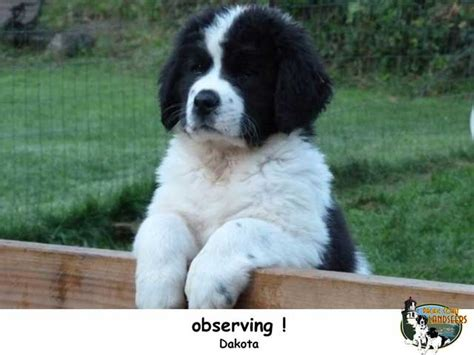 landseer puppies great pyrenees club of california breeds picture