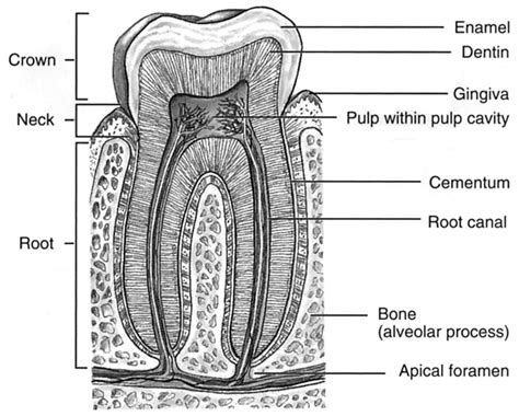 diagram of a tooth to label diagram of teeth to label image collections how to guide