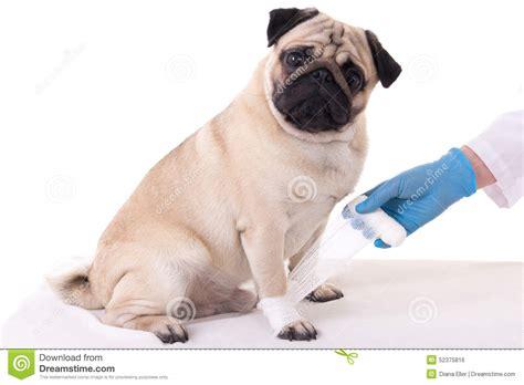 paw bandage veterinarian putting bandage on injured paw of stock photo image 52375816