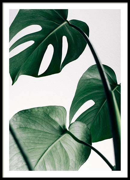 Walldecor Tropical Leaves Daun Monstera 3 Monstera Three Poster In The Posters Prints