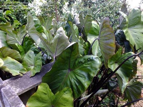 top 28 taro growing conditions plantfiles pictures elephant ear taro blue hawaii