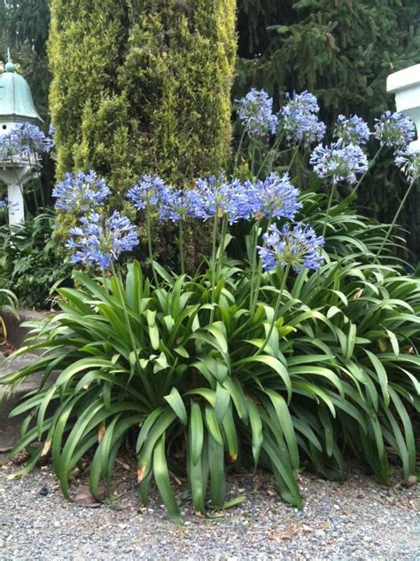 200 agapanthus lily of the nile blue flower bulbs with