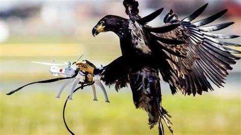 Eagles News Eagles Trained To Take Drones News