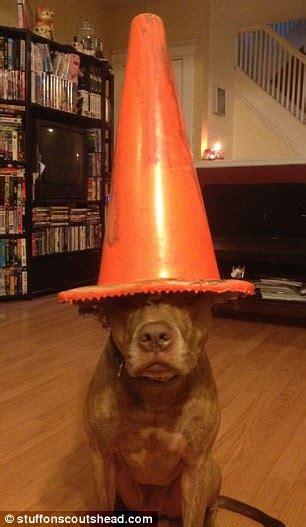 owner rests everyday items items  food   pet pitbulls head  create amusing