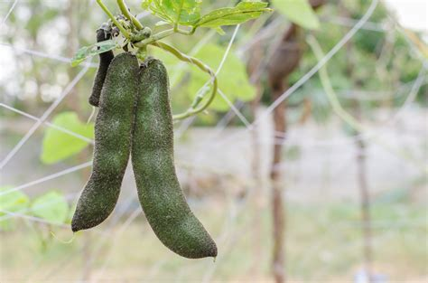 velvet bean planting tips    growing velvet beans