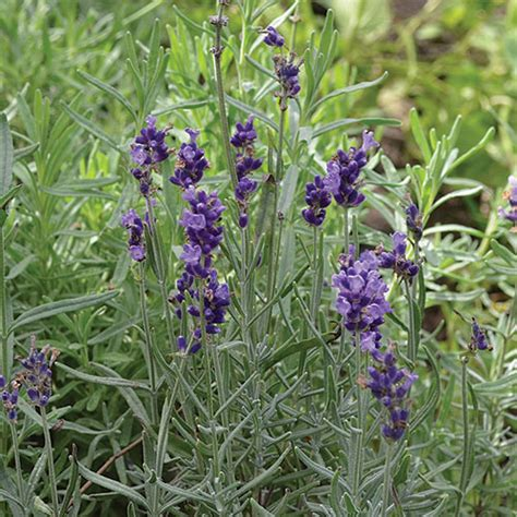 hidcote blue lavender herb seed savers exchange
