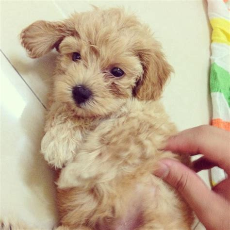 light brown puppy poodle puppy sold 5 years 2 months light brown tiny poodle from kepong kuala