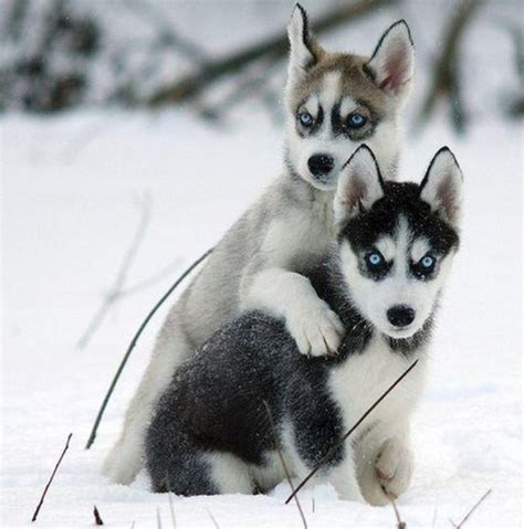 puppies husky snow puppy animal cognizance