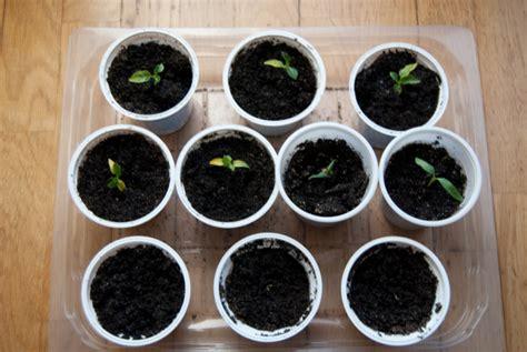 coltivare peperoncini in vaso come coltivare peperoncino in vaso e a terra tuttogreen