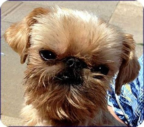 brussels griffon puppies for adoption rocky adoption pending adopted rock ar brussels griffon