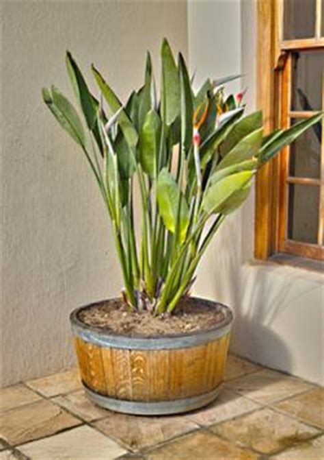 bird  paradise plant lovetoknow