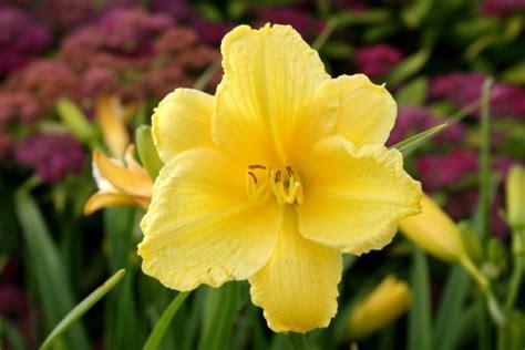 Taglilien Teilen by Taglilien 187 Pflanzen Pflegen Schneiden Und Mehr