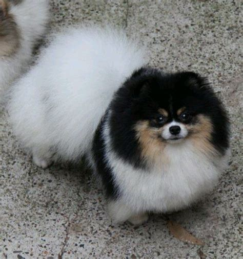 pomeranian parti pomeranian tricolor parti pomeranians coats beautiful and coloring