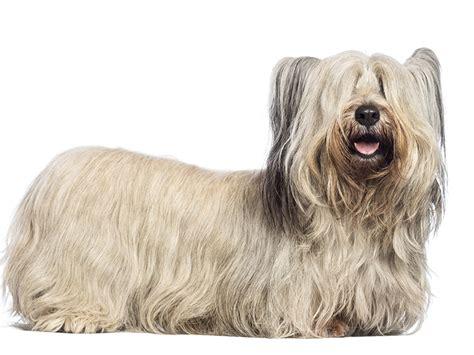 how to cut a skye terriers hair skye terrier tout sur cette race de chien
